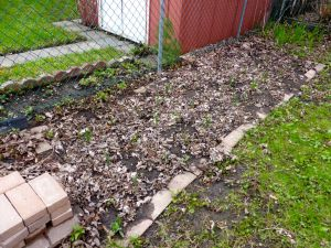 spring garlic shoots