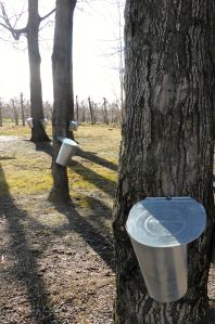 maples & buckets