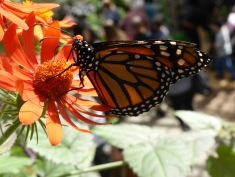 Monarch butterfly with orange flower