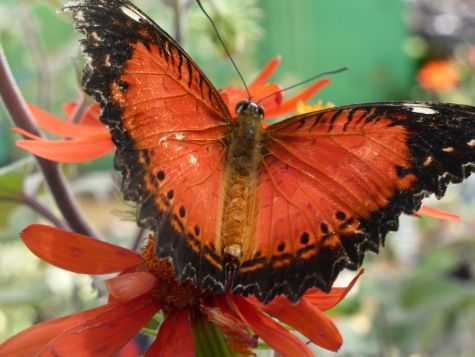 deep orange butterfly