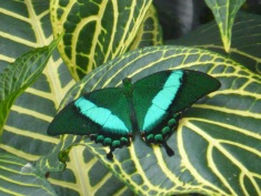 turquoise and green butterfly