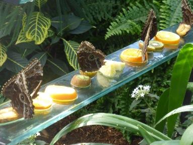 butterflies munching fruit