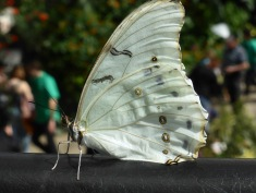 light green butterfly