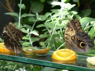 butterfles eating fruit