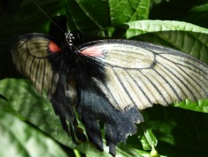 white, red, black butterfly