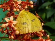 yellow butterfly with orange and y ellow flowers
