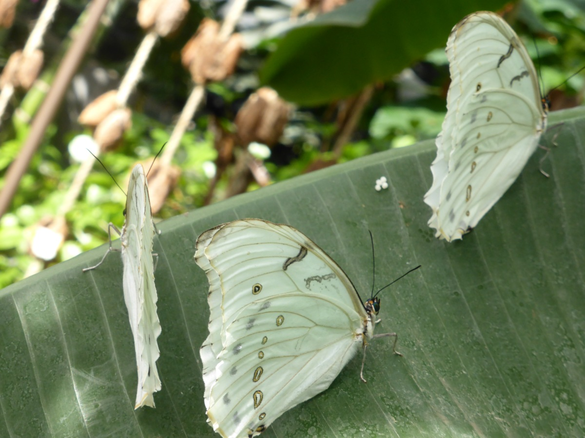 light green butterflies
