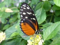 orange, black & white butterfly