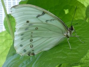 greenish butterfly