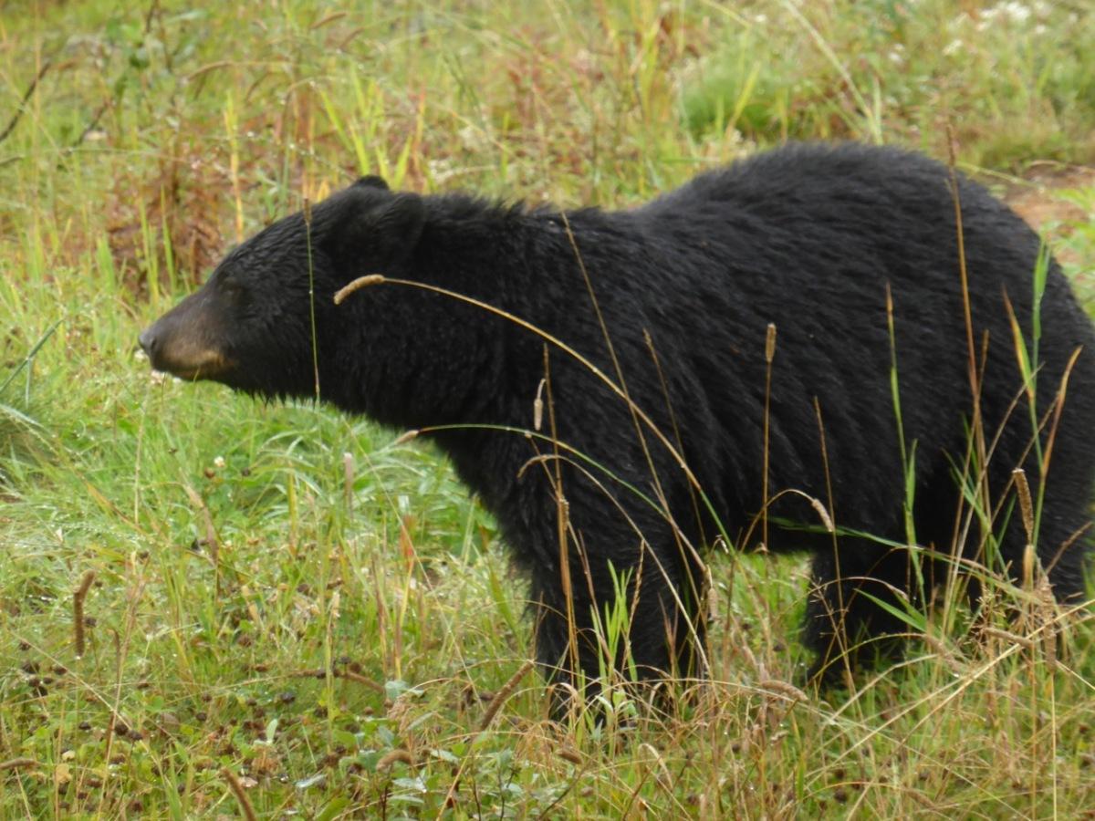 Bear at Whistler
