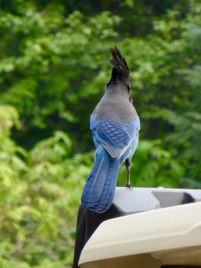 Indigo blue and black crested bird
