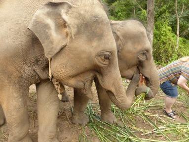 elephants eating grasses