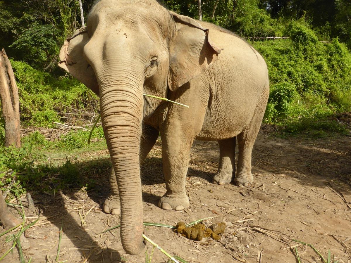 elephant eating grasses