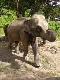 elephant with curled trunk