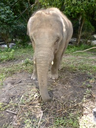 elephant looking face on