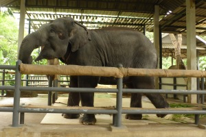 elephant with prosthesis