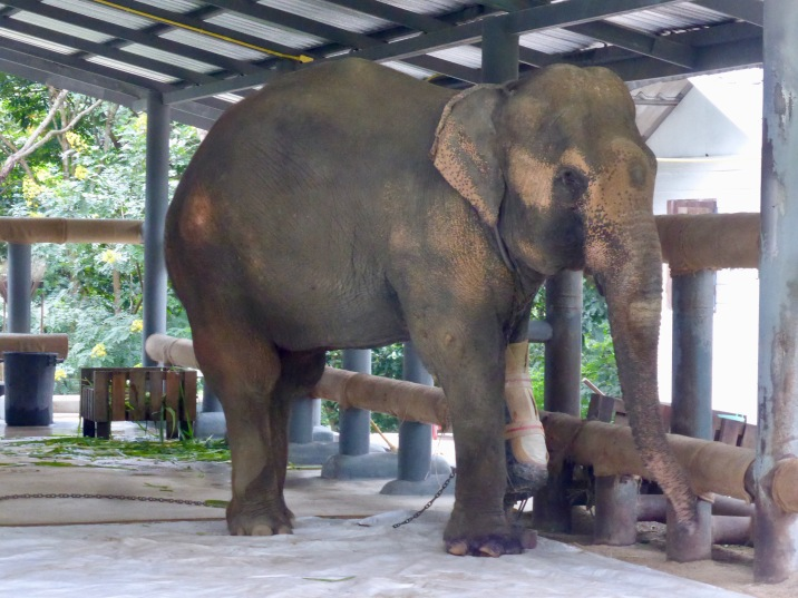 elephant with prosthesis