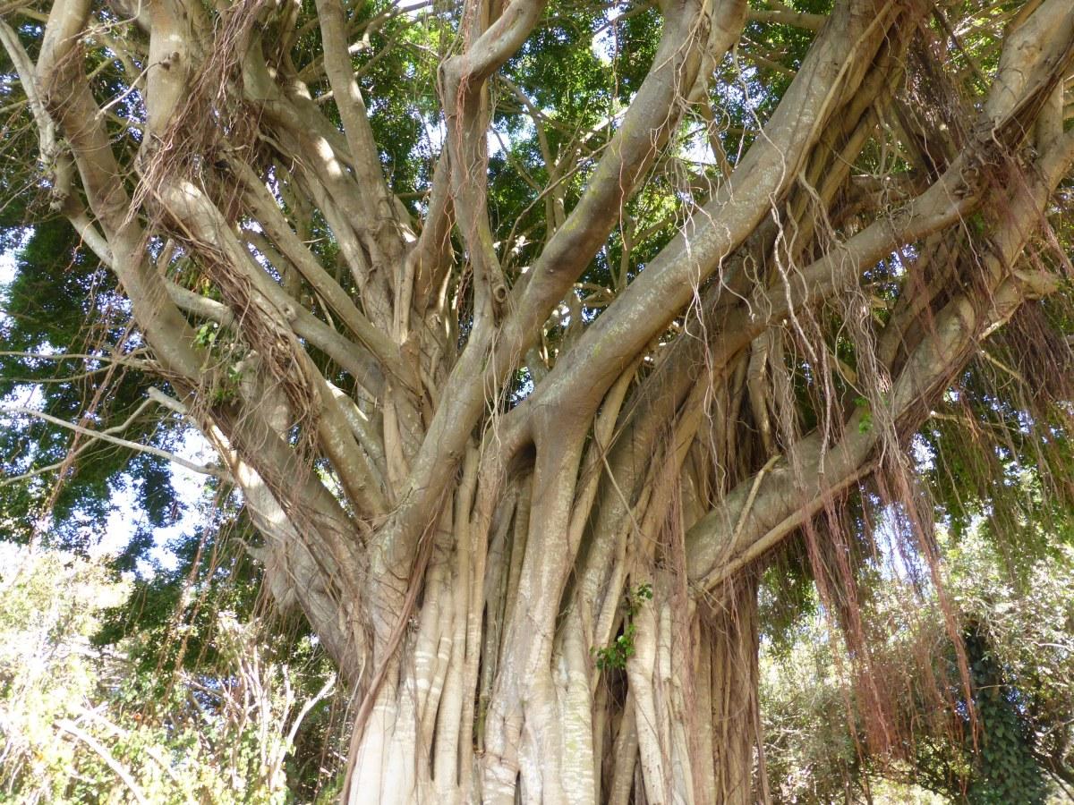 banyan tree low angle