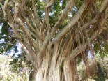 banyan tree low angle