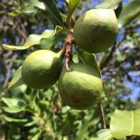 macadamia nuts in a tree
