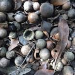 macadamia nuts on the ground
