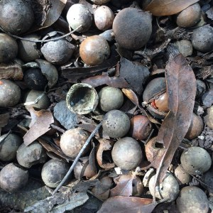 macadamia nuts on the ground