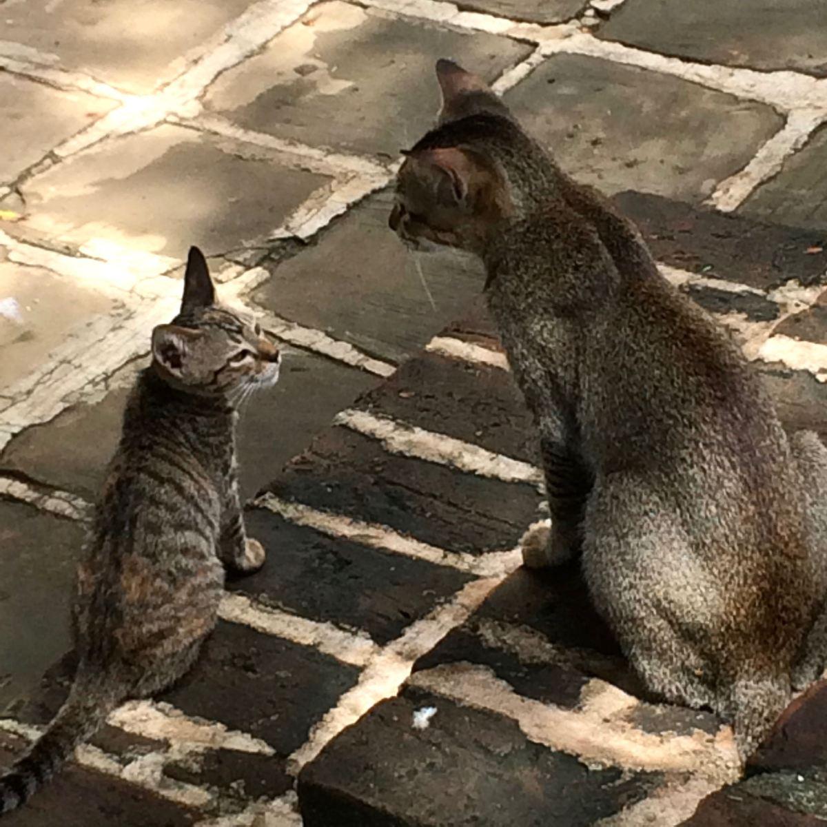 Bagan - Burmese cats