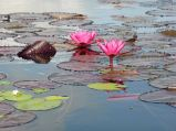 lotus flowers close-up