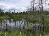 beaver dams and marshes