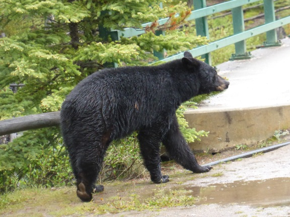 bear sauntering