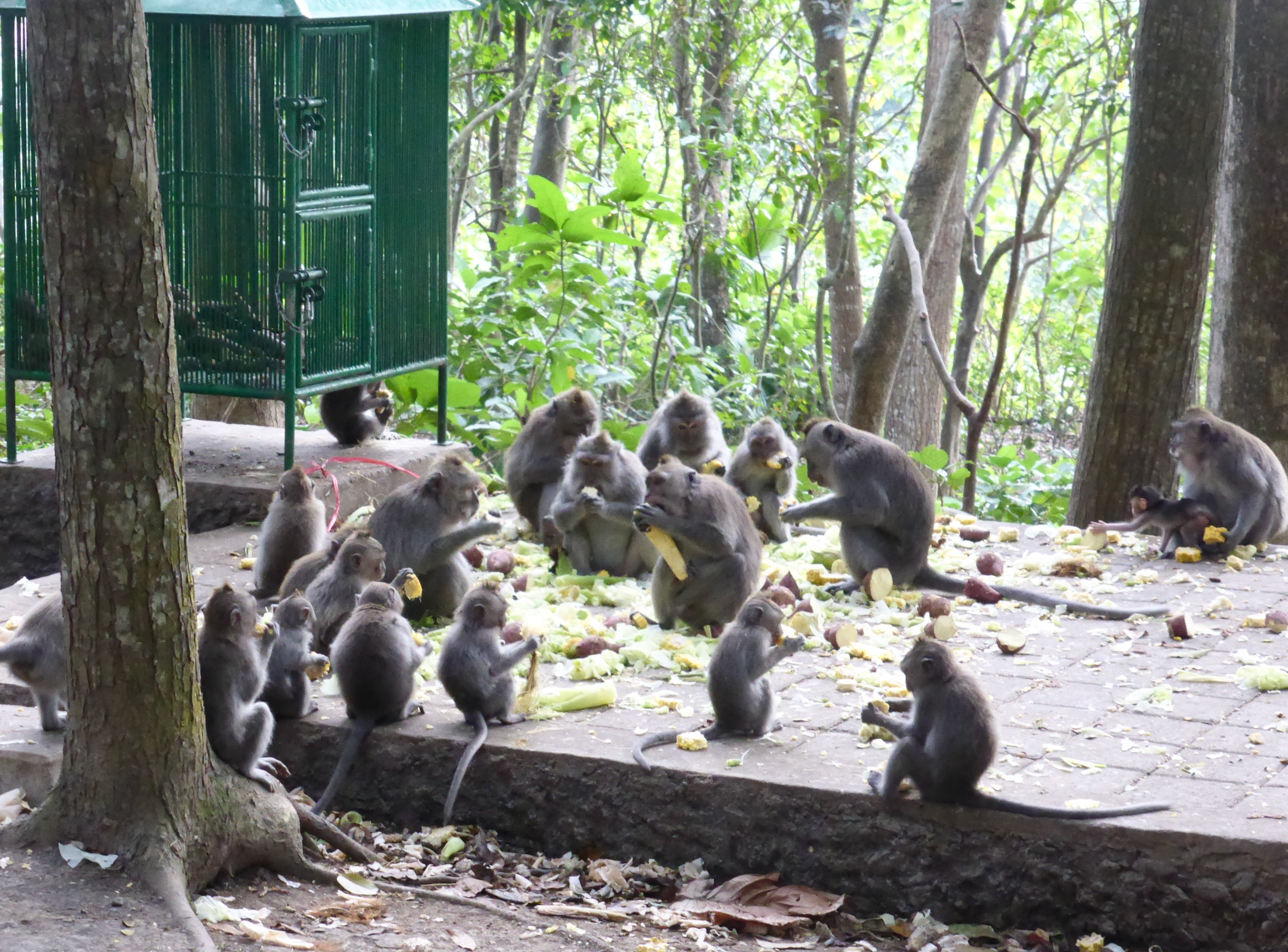 long-tailed macaques eating