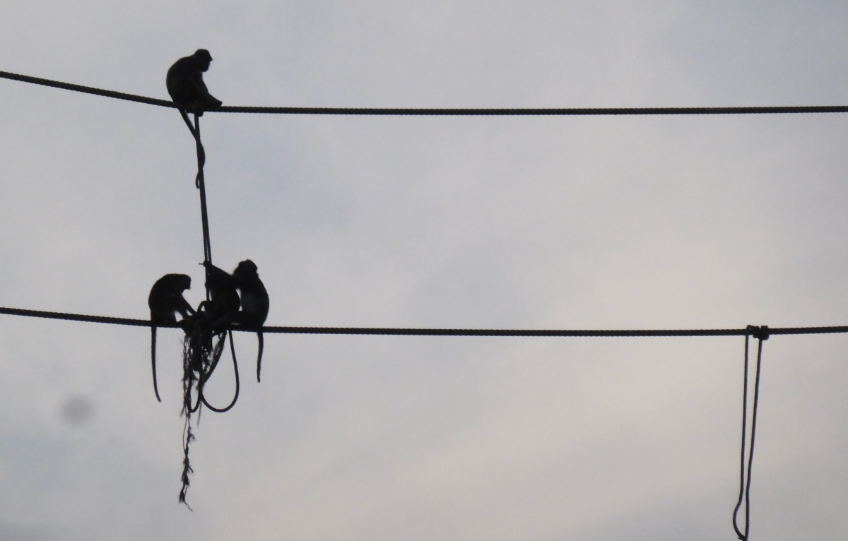 silhouette of monkeys on rope bridge