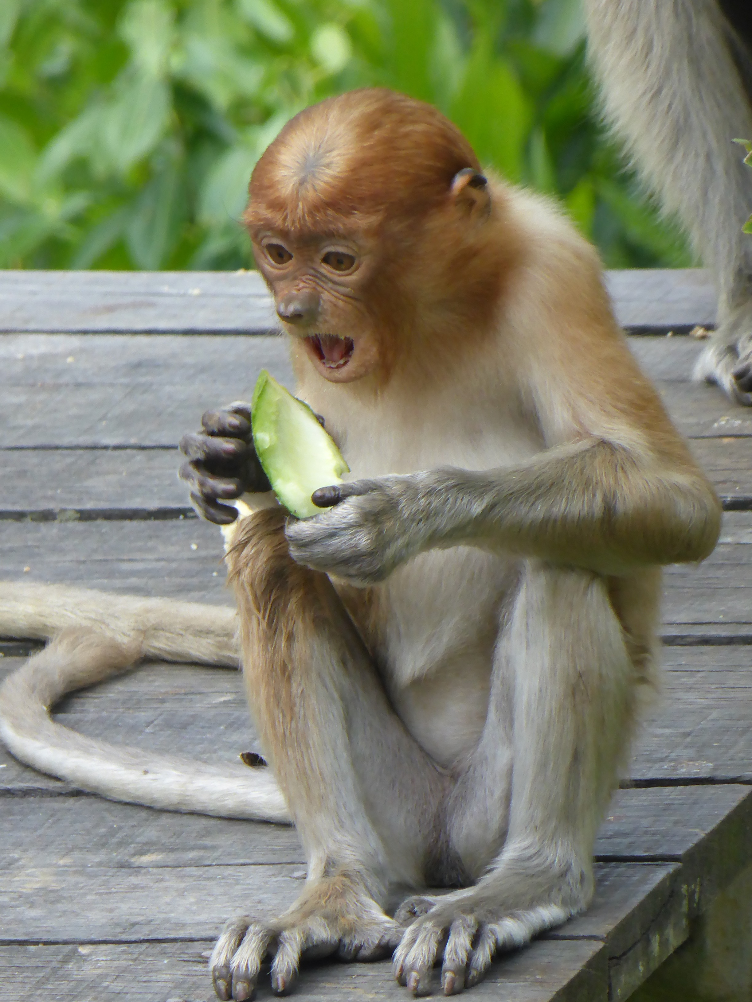 young orange-coloured monkey eating fruit