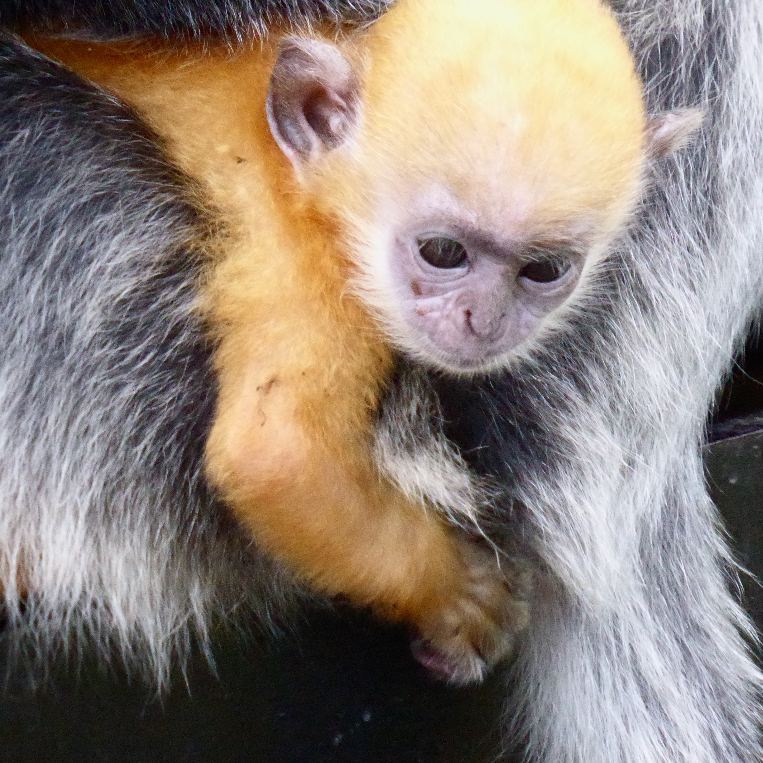 orange-coloured monkey baby cuddled with mother