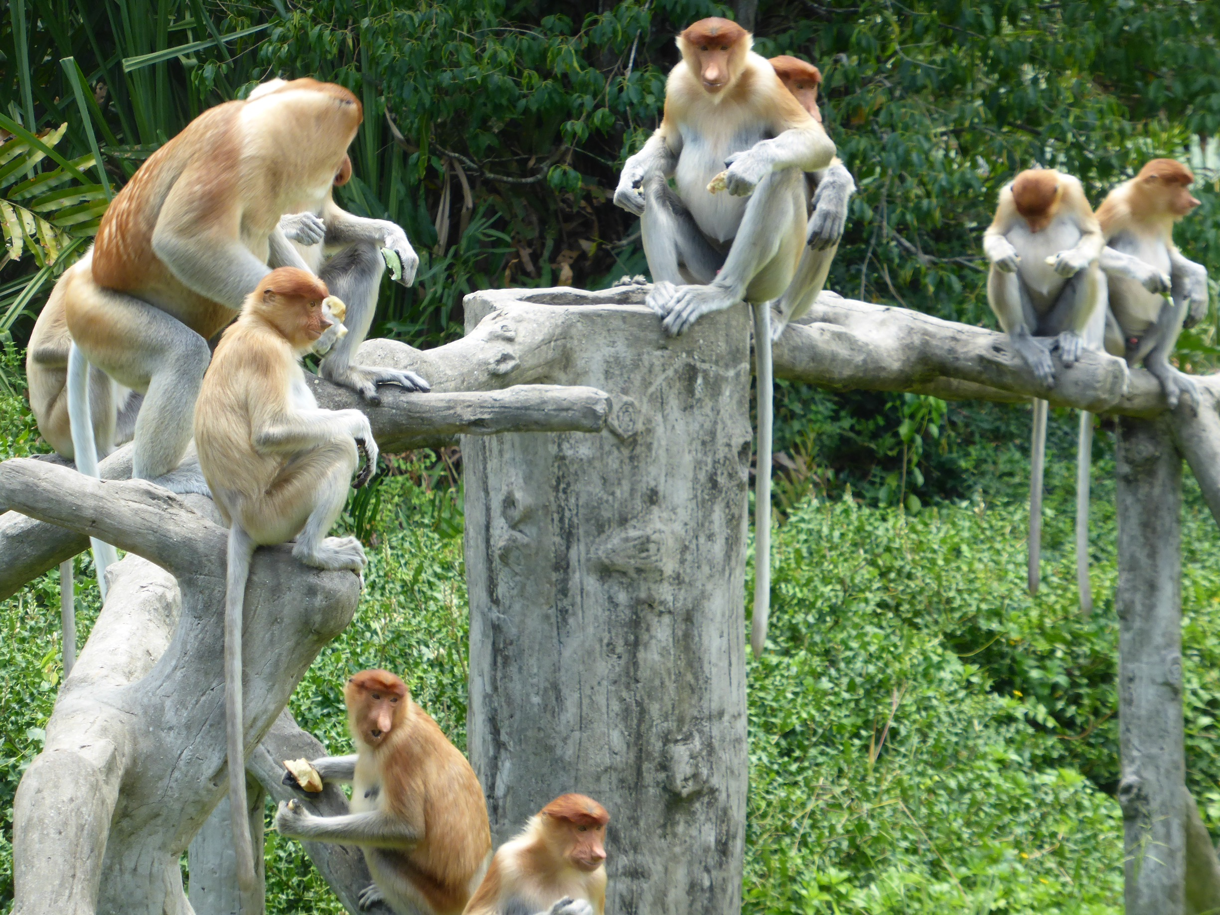 orange-coloured proboscis monkeys sitting and eating on tree branches