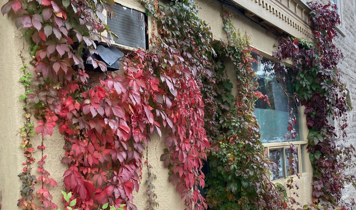 Exterior wall with colourful fall leaves going up the side